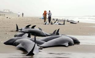Le 10 avril 2015, des dauphins échoués sur la plage d'Hokota, préfecture d'Ibaraki au Japon.