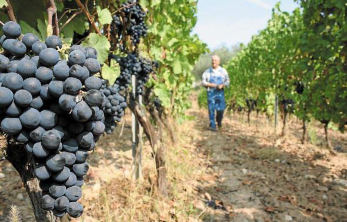 A Toasc, si le raisin blanc est déjà pressé, la Folle noire doit encore murir quelques jours. –  A. SELVI / ANP / 20 MINUTES