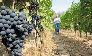 A Toasc, si le raisin blanc est déjà pressé, la Folle noire doit encore murir quelques jours.