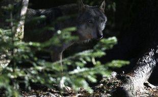 Illustration: Un loup le 13 novembre 2012 dans le parc du Mercantour , à Saint-Martin-Vesubie.