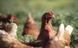 Illustration de poules pondeuses élevées en plein air dans une ferme écologique du Gard