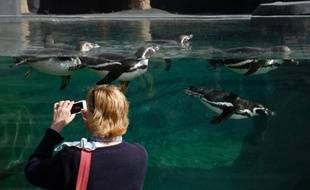 Une visiteuse prend une photo de pingouins au zoo de Vincennes à Paris le 8 avril 2014