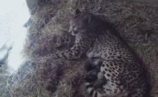 Des bébés guépards naissent à Sigean.