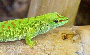 Un Gecko vert dans un terrarium