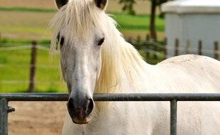 Un cheval blanc (illustration).