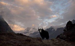 Au moins 300 yacks sont morts de faim dans la vallée indienne de Mukuthang, dans l'Himalaya (illustration).