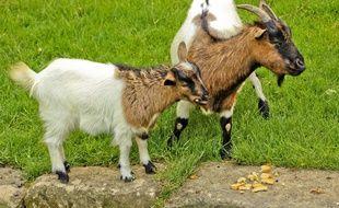 Illustration. Une chèvre.