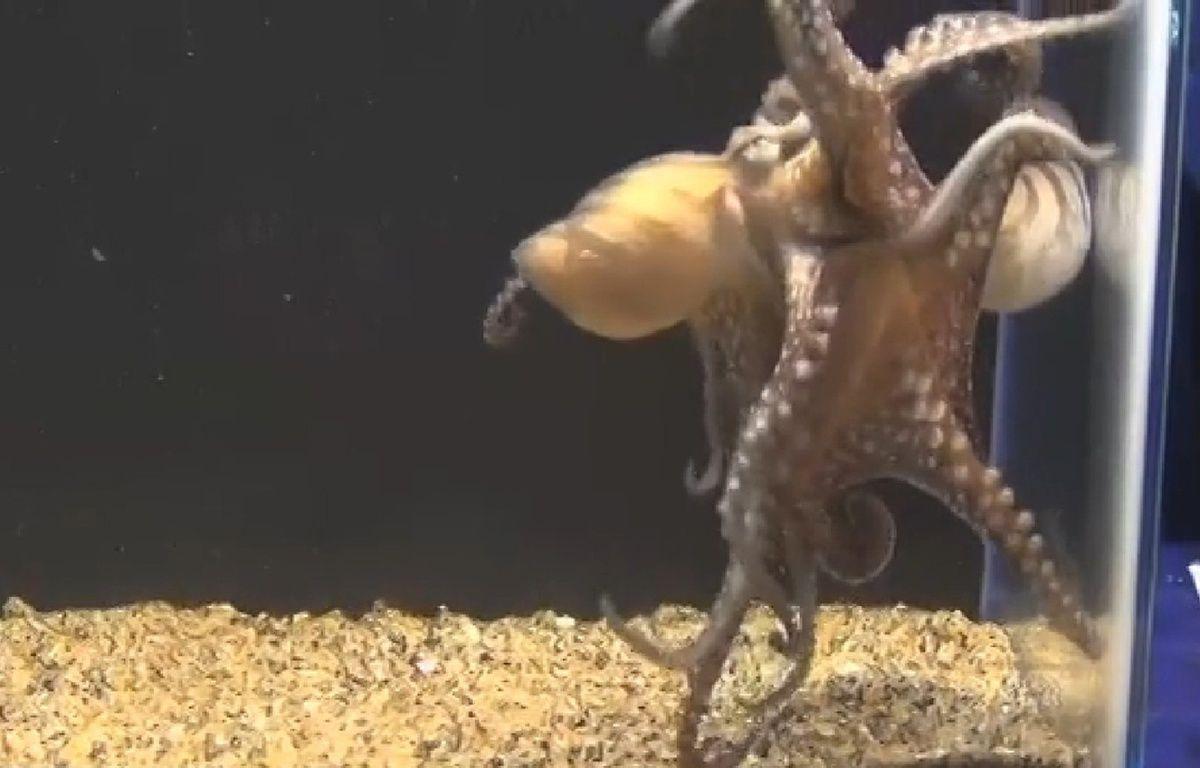 Accouplement original d'une espèce de poulpe étudiée par l'université de Californie. – Capture d'écran/Plos One