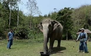 Un éléphant se nourrissant d'une préparation alimentaire contenant des grains de café, le 10 avril 2015 à Chiang Saen, en plien Triangle d'or, dans le nord de la Thaïlande