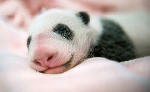 Photo prise le 28 août 2017 du bébé panda du zoo de Beauval (Loir-et-Cher).