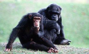 Un couple de chimpanzés.