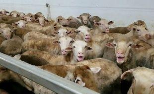 Cette photo a été réalisée sur un cargo transportant plus de 50.000 moutons vers le Proche-Orient, en 2018