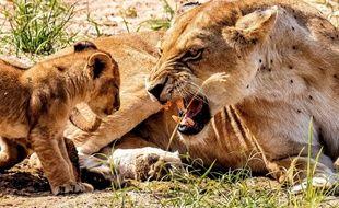 Ce lionceau a dû faire une bêtise !