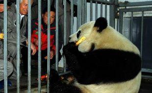 Xing Hui, un mâle panda de 4 ans avant son départ pour la Belgique, le 22 février 2014 au centre de recherche et conservation des pandas géants à Dujiangyan, au Sichuan
