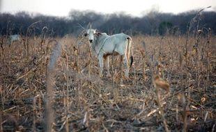 Une chèvre noire sous un arbre sec: c'est le seul animal qu'il reste à Maria Juana Rodrigues, agricultrice à Quixada, dans le Nordeste du Brésil. Il y a deux ans, la retraitée possédait encore une douzaine de têtes de bétail.
