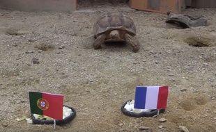 La tortue Ariane s'apprête à prédire la finale...