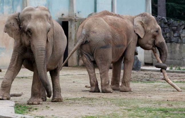 Baby et Népal, les deux éléphantes du Parc de la Tête d'Or à Lyon.