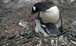 Un manchot papou nourrit son petit sur l'île de Petermann dans l'Antarctique, le 2 mars 2016