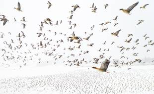 """""""Pink-Footed Geese Meeting the Winter"""""""