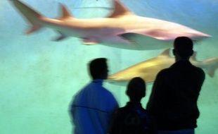 Près d'1,3 million de requins, dont un grand nombre figurent sur les listes d'espèces menacées, ont été tués en 2008 dans l'Atlantique par les bateaux de pêche industrielle faisant fi des limites imposées à la capture de ces prédateurs, affirme lundi l'ONG Oceana.