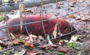 Un ragondin a été peint en rouge