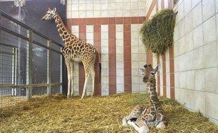Rémi, le girafon au premier plan avec sa maman. Pauline au zoo de la Palmyre.