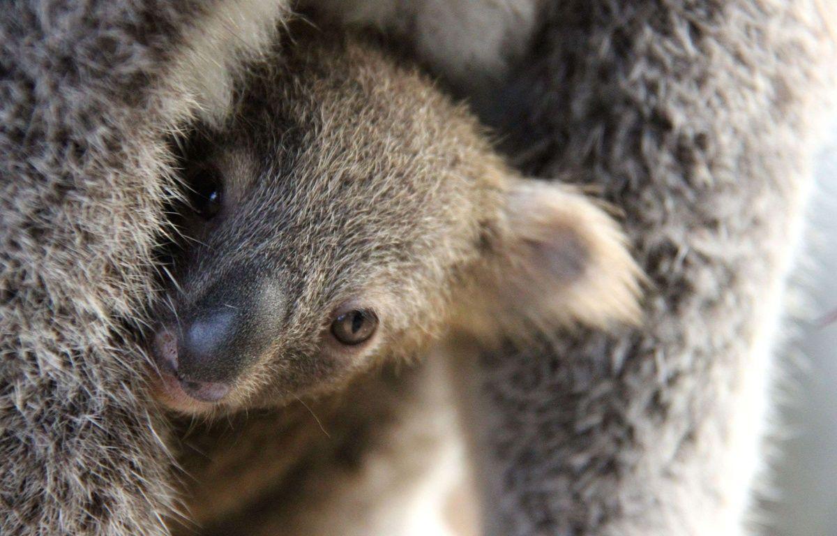 Le koala figure sur la liste des animaux menacés d'extinction.  –  Taronga Zoo/REX Shutter/SIPA
