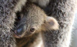 Le koala figure sur la liste des animaux menacés d'extinction.