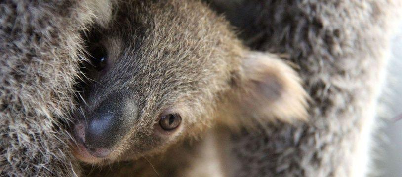 Le koala est un animal menacé d'extinction.