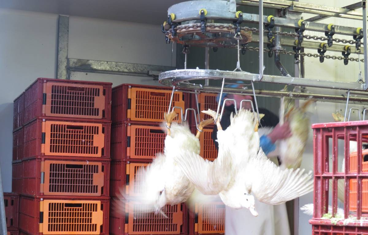 A Bordeaux, le 28 janvier 2016, reportage auprès des éleveurs de canards regroupés dans la coopérative Palmagri, alors que des mesures draconniennes sont prises pour lutter contre l'influenza aviaire. – E.Provenzano / 20 Minutes