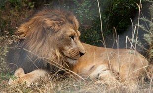Un lion d'Abyssinie, en Ethiopie, recueilli par la fondation Born Free, le 18 février 2015