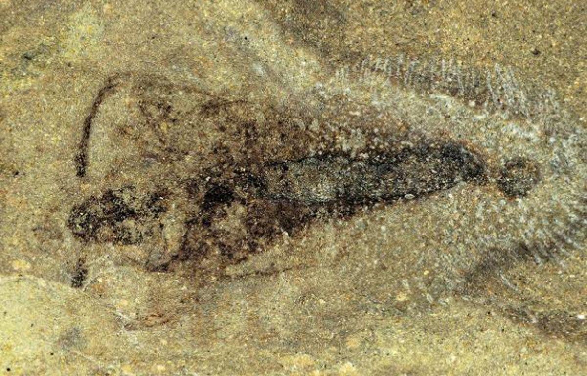 Un fossile d'insecte vieux de 365 millions d'années a été découvert par le Muséum national d'histoire naturelle en Belgique. – Romain Garrouste/MNHN