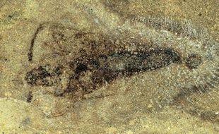 Un fossile d'insecte vieux de 365 millions d'années a été découvert par le Muséum national d'histoire naturelle en Belgique.
