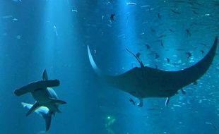 Le requin marteau de Nausicaa.