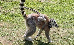 Un lémurien porte son bébé le 1 juillet 2010 au Parc des félins près de Paris