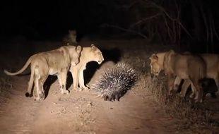 Un porc-épic résiste à une horde de lions, en Afrique du Sud.