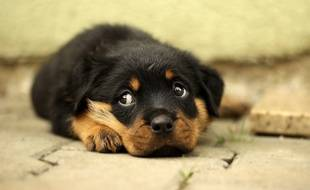 Un petit chien (Illustration)
