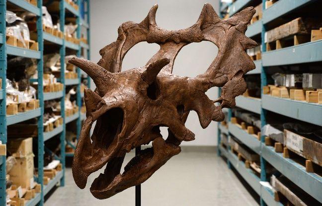 Deux nouvelles espèces de dinosaure à cornes ont été découvertes aux Etats-Unis, dont l'une par un amateur qui explorait la propriété qu'il venait d'acquérir. Ces deux découvertes ont fait, ce 18 mai 2016, l'objet d'une publication dans la revue PLOS One.