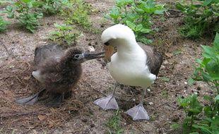 Un petit albatros de Laysan et sa maman, en mars 2006 à Hawaï.