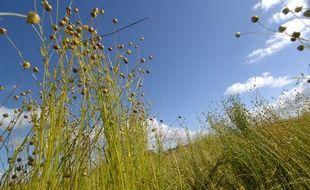 Des plants de lin, près de Caen.