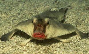 Le platax à lèvres rouges, proche cousin du poisson pancake.