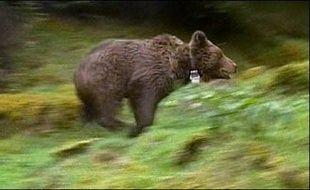 L'ourse Franska, qui cristallisait une bonne partie du mécontentement provoqué par la réintroduction de l'ours dans les Pyrénées, a été tuée accidentellement par une voiture dans les Hautes-Pyrénées.