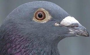 Capture d'écran d'une vidéo de présentation par le site de vente aux enchères Pipa de Bolt, un pigeon voyageur belge.