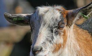 Une chèvre. Illustration.