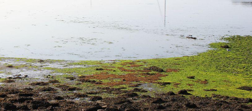 Illustration d'algues vertes échouées sur le rivage. Ici le 13 septembre 2020 à Lorient, dans le Morbihan.