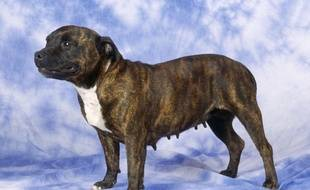 Un Staffordshire Bull Terrier.
