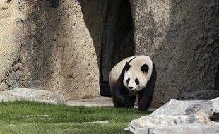 Un des pandas géants du parc Pairi Daiza, en Belgique.