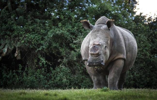 VIDEO. Afrique du Sud: Victimes de braconnage, les rhinocéros sont en danger
