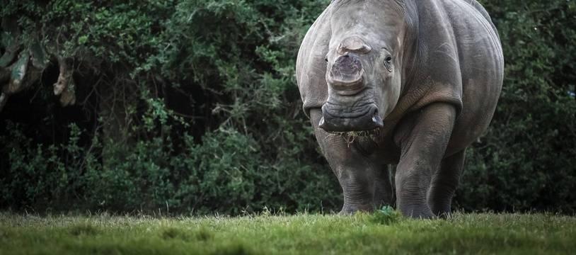Un rhinocéros avec une corne coupée.
