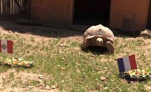 La tortue Ariane prédit une victoire de la France face au Pérou